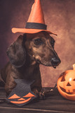 Dachshund funny dog dressed for halloween