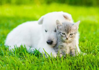 White Swiss Shepherd`s puppy hugging kitten on green grass