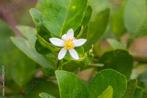 Flower of bergamot fruits on tree
