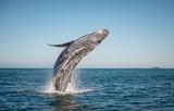 Happy whale breaching - 118564016
