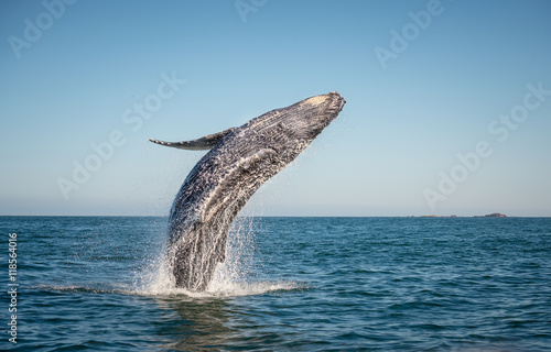 Happy whale breaching Poster