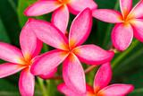 Bright pink plumeria blooms on tree