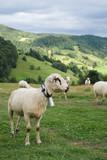 Owce na górskiej łące, Gorce, Ochotnica Górna, Polska, pasmo Beskidów - 118577028