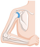 Diagram showing human elbow joints