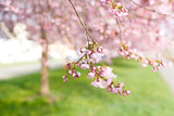 Sakura tree flowers