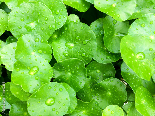 Leinwanddruck Bild Green Centella asiatica close up.