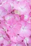 Close - up Pink Hydrangea macrophylla flower .