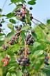 Ripe Saskatoon berries on a branch on blue sky background at Sun