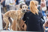 Italian Greyhound dog with his female owner on urban street event.