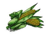 Two fresh corn cobs