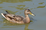 Утка плывёт по озеру.