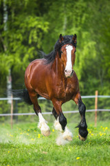 Bay Vladimir Heavy Draft horse runs gallop on the meadow