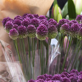 Purple color ornamental onion (Allium bulgaricum)