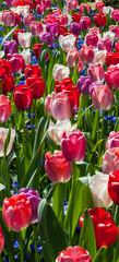 Tulip garden © forcdan