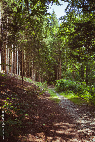 Way through a coniferous forest