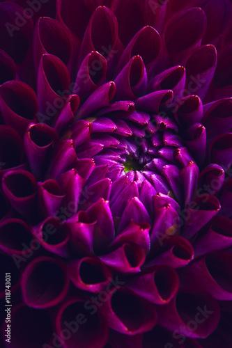 piekna-purpurowa-dalia