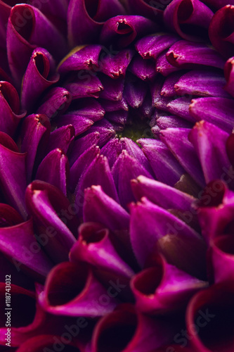 Poster Purple dahlia close up
