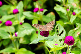 butterfly and pink flowers in garden