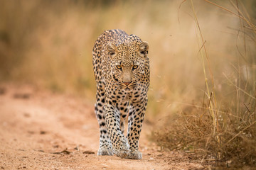A Leopard walking towards the camera in the Kruger.