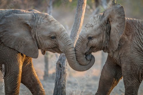 Fototapeta Elephants playing in the Kruger.