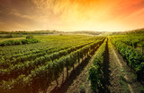 Beautiful vineyard with sunset sky