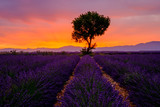 Fototapety Tree in lavender field at sunrise in Provence, France