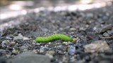 A big green sphinx moth caterpillar (Sphingidae) crawls along the rocky forest ground