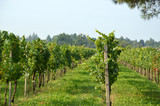Bunches of grapes in a vineyard before harvest