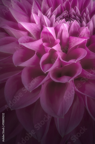 Purple flower petals, close up and macro of chrysanthemum, beautiful abstract background