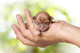 newborn chihuahua puppy in the caring hands on green blurred bac