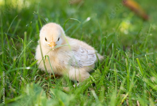 Staande foto Kip Baby chicken walking on grass