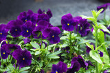 A flower bed with a dark purple pansies