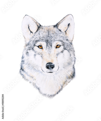 Watercolor painting of a wolf - 118892284