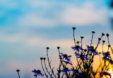 flower silhouette sunset
