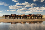 Herd of horses on a watering place on the background of the clou