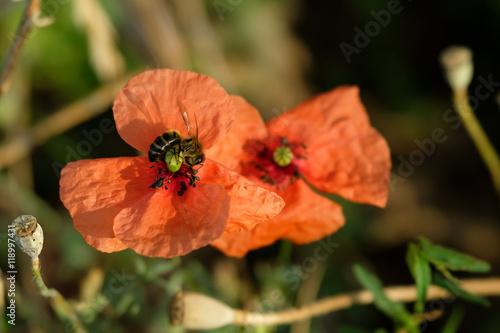Zdjęcia na płótnie, fototapety, obrazy : Bee pollinating a poppy in a meadow
