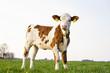 canvas print picture - Fleckvieh Kalb allein stehend auf einer Weide im Frühjahr