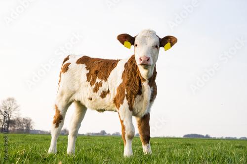 canvas print picture Fleckvieh Kalb allein stehend auf einer Weide im Frühjahr