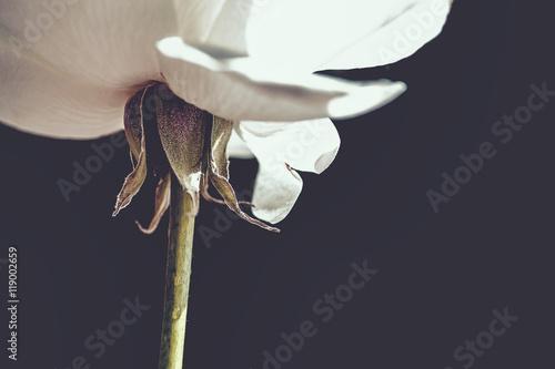 Juliste White Rose