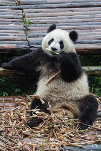 Panda relaxing while eating bamboo
