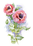 Watercolor blooming poppy flowers illustration.