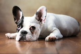 Französische Bulldogge Junghund