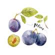 Watercolor hand drawn plum