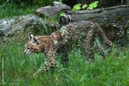 Poster Geoffroy's cat (Leopardus geoffroyi).