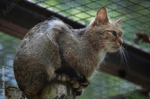 European wildcat (Felis silvestris silvestris). Poster