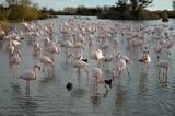 Flamingos at Camargue Natural Park in France