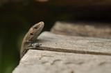 Ящерица на древесном фоне, природа, животные, рептилии