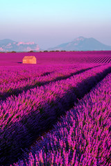 Lavender field at sunset in Provence, France © Anton Gvozdikov