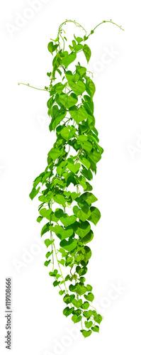 Fototapeta vine plants isolate on white background, Clipping path