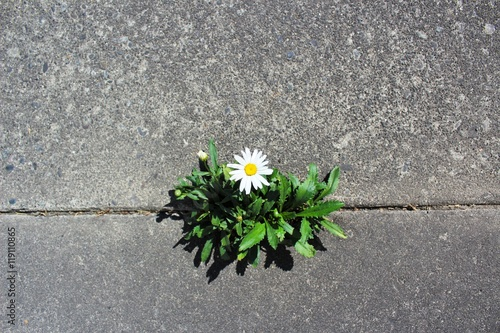 Beautiful and tough daisy grows in a crack in the pavement Poster